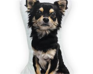 Longhaired Chihuahua Black